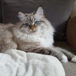 Bonnie Małe Białe PL, kotka syberyjska Neva Masquerade