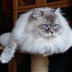 Kiryan Morozko, kot Neva Masquerade, hodowla Małe Białe PL