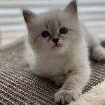 S*Lily Małe Białe_koteczka syberyjska Neva Masquerade