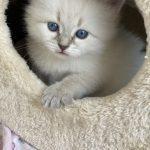 Koteczka syberyjska, Neva Masquerade