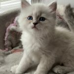 Sonata Małe Białe, kotka syberyjska Neva Masquerade