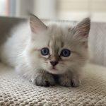 S*Lily Małe Białe, kotka syberyjska,Neva Masquerade