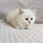 Tosia Małe Białe, kotka syberyjska, Neva Masquerade