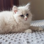 Tamitu Małe Białe, kotka syberyjska, Neva Masquerade