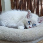 Tamitu Małe Białe, kotka Neva Masquerade