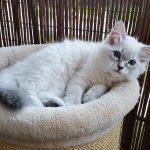 Teyana Małe Białe, kotka syberyjska, Neva Masquerade