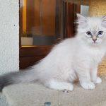 U_Luna Małe Białe, kotka syberyjska, Neva Masquerade
