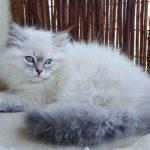 Urmila Małe Białe, kotka syberyjska, Neva Masquerade
