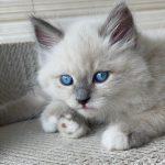 Watson Małe Białe, kocurek syberyjski, Neva Masquerade