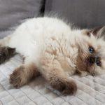 Z*Arya Małe Białe, kotka Neva Masquerade