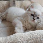 Zoyka Małe Białe, kotka Neva Masquerade