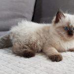Zumila Małe Białe, kotka Neva Masquerade