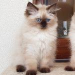 Z*Arya Małe Białe PL, kotka syberyjska, Neva Masquerade