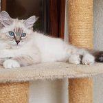 Zoyka Male Białe PL, kotka syberyjska Neva Masquerade