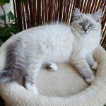 Zoyka Małe Białe PL, kotka syberyjska, Neva Masquerade