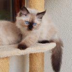 Zumila Małe Białe PL, kotka syberyjska, Neva Masquerade