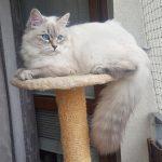 Teyana Małe Białe PL, kotka syberyjska, kotka Neva Masquerade