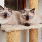 Kocięta Małe Białe PL