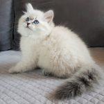 Berenika Małe Białe PL, kotka syberyjska,Neva Masquerade
