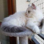 Bayame Małe Białe PL, kotka syberyjska, Neva Masquerade