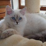 Berenika Małe Białe Pl, kotka syberyjska, Neva Masquerade