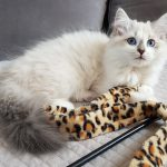 Bianka Małe Białe PL, kotka syberyjska, Neva Masquerade