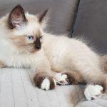 Cayenne Małe Białe PL, kotka syberyjska, Neva Masquerade