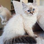 Channah Małe Białe, kotka syberyjska, Neva Masquerade