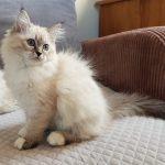 Cornelia Małe Białe PL, kotka syberyjska, Neva Masquerad