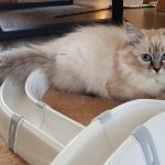 Cayenne Małe Białe PL, kotka syberyjska, Neva Masquerad