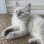 Dahlia Małe Białe, kotka syberyjska, Neva Masquerade