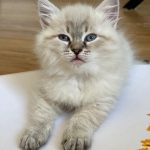 Destiny Małe Białe Pl, kotka syberyjska, Neva Masquerade