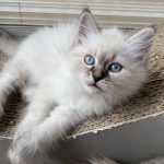 Draka Małe Białe PL, kotka syberyjska, Neva Masquerade