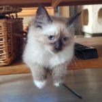 Cayenne Małe Białe PL, kotka Neva Masquerade