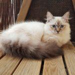 Channah Małe Białe PL, kotka Neva Masquerade
