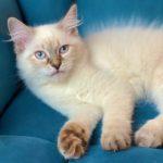 Draka Małe Białe PL, kotka Neva Masquerade