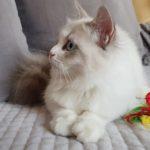 Bayame Małe Białe PL, kotka neva Maquerade