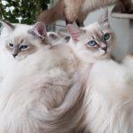 Berenika Małe Białe PL, kotka Neva Masquerade