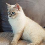 Berenika Małe Białe PL, kotka syberyjska, Neva Masquera