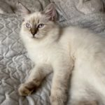Draka Małe Białe PL, kotka syberyjska Neva Masquerade