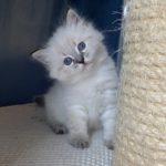 Fyona Małe Białe Pl, kotka syberyjska, Neva Masquerade