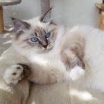 Cornelia Małe Białe PL, kotka Neva Masquerade