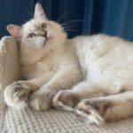 Draka – kotka Neva Masquerade czeka na swoich nowych opiekunów