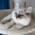 Fyona Małe Białe PL, kotka syberyjska Neva masquerade