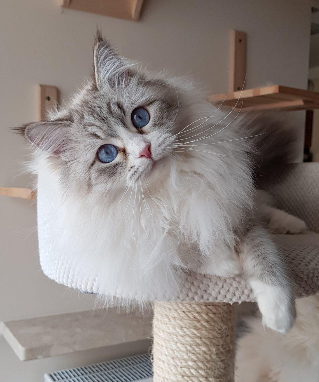 Antea Małe Białe PL, kotka Neva Masquerade, kotka syberyjska
